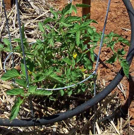 GardenTomatoes6-17-06 (39K)